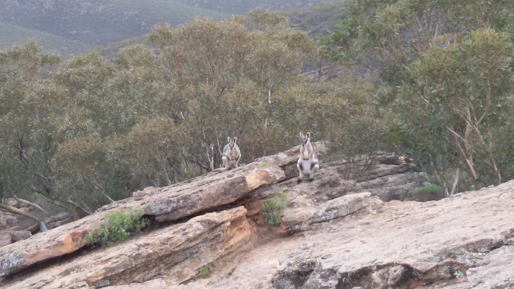 rock wallabies flinders ranges