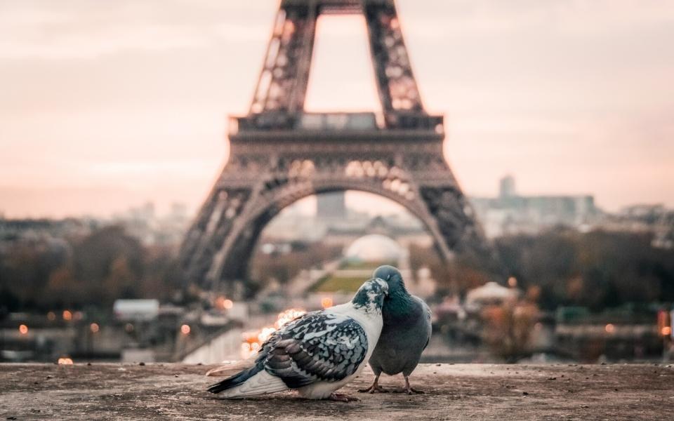 interesting facts paris pigeon