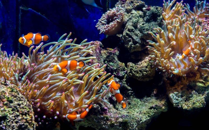 clownfish great barrier reef nemo