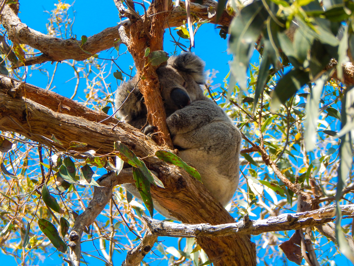 Koala on the great ocean road Cape Otway