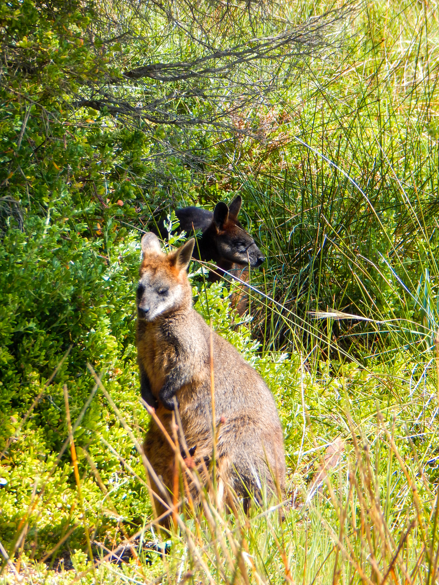Wallabies and Kangaroos in Port Fairy Australia