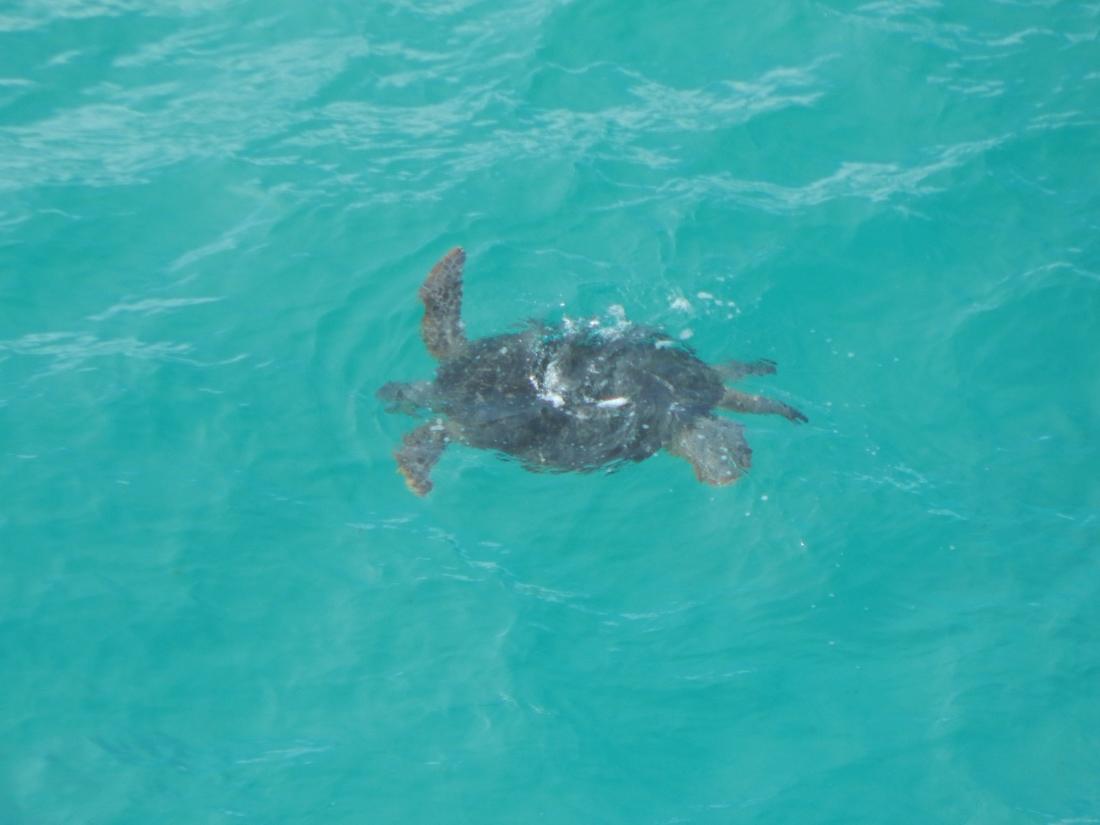 turtle indian head fraser island