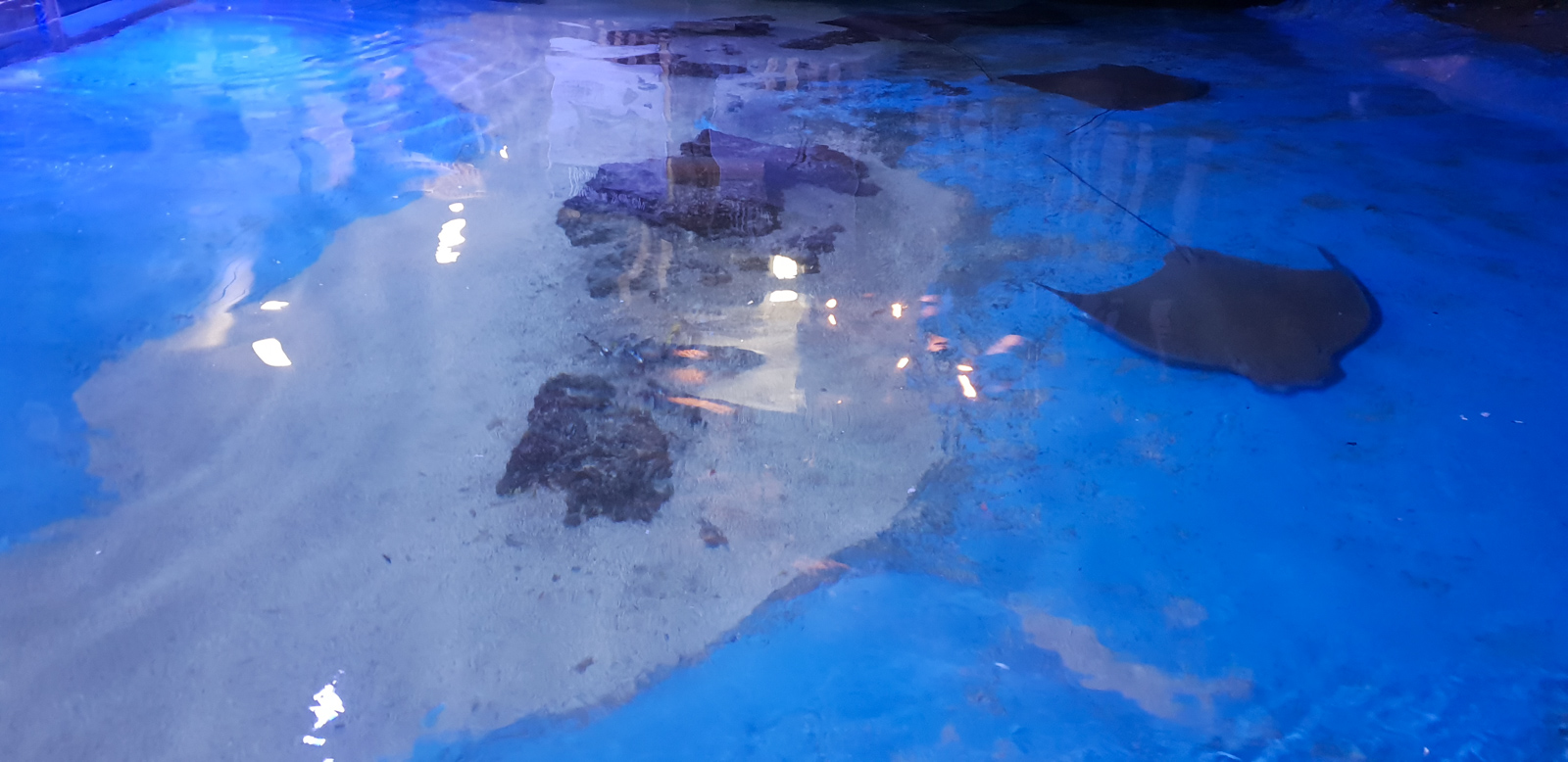 Clearwater Aquarium Stingrays
