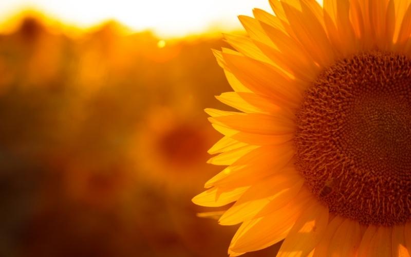 Sunflowers fields at golden hour