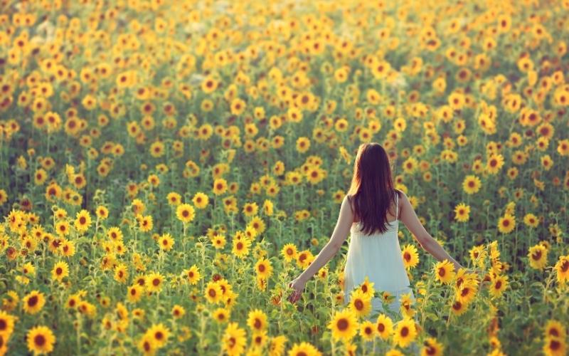 Sunflower Fields in Florida USA